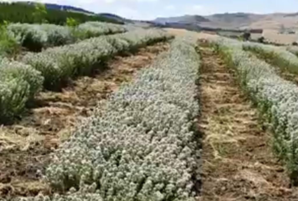 foto_coltivazione_origano.jpg