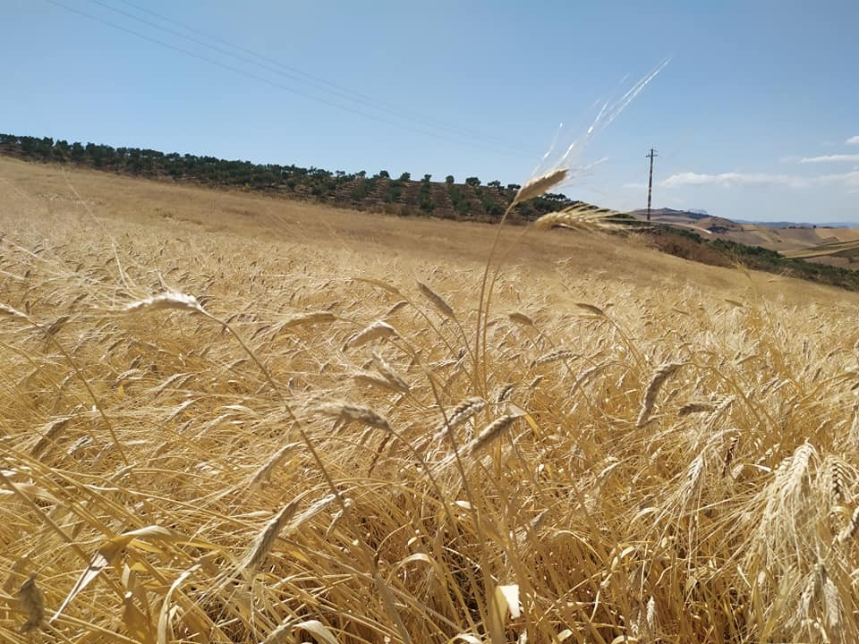 Campo di grano siciliano